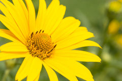 Big yellow Daisy Stock Images