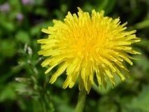 Big yellow dandelion, beautiful flower royalty free stock image