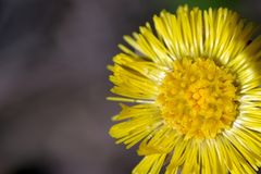 Big yellow dandelion flower. White pollen lies on its petals. High resolution closeup macro stock images