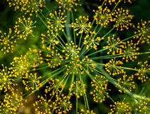 Big yellow dill flower Royalty Free Stock Photos
