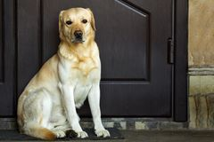 Big yellow dog sitting near house door.  Royalty Free Stock Images