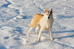 A big yellow dog. Stands on a snow-covered field stock image