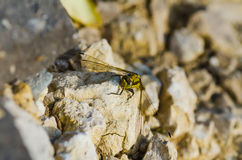 Big yellow dragonfly Royalty Free Stock Photography