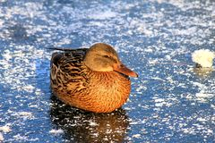 A big yellow duck with beautiful feathers sits on the ice of a frozen lake in winter stock photo