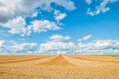 Big yellow field after harvesting. Mowed wheat fields under beautiful blue sky and clouds at summer sunny day. Converging lines on royalty free stock photography