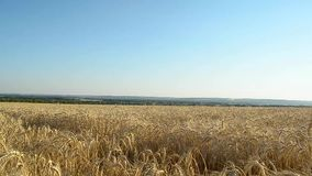 Big yellow field of ripe wheat against the blue sky, ears of wheat of, summer day, grain harvest. stock video footage
