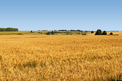 Big yellow field of wheat Stock Photography