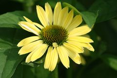 Big Yellow Flower. Big Yellow Coneflower with green leaves Stock Images