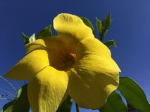 BIG Yellow flower and blue sky royalty free stock photos