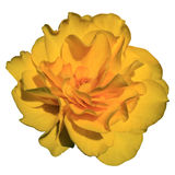 Big yellow flower on a white background Royalty Free Stock Images