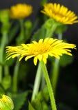 Big yellow gerberas Stock Images