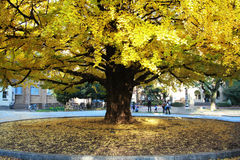 Big yellow Ginkgo tree Stock Image