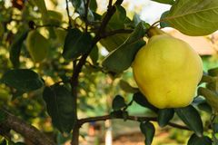 Big yellow golden quince fruit unharvested with green leaves background in autumn time Royalty Free Stock Photography