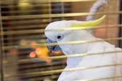 Big yellow-haired cockatoo in a cage. Cacatua galerita. Plyctolophus galeritus.  Stock Images