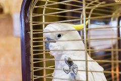 Big yellow-haired cockatoo in a cage. Cacatua galerita. Plyctolophus galeritus.  Royalty Free Stock Images