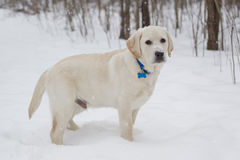 Big Yellow Lab Puppy standing in the snow. Rudy the Big Yellow Lab Puppy standing in the snow with a blue collar stock images