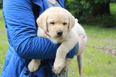 Big yellow labrador puppy Stock Images