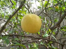 A big Yellow Lemon fruit on tree at garden. Stock Images