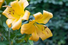 Big yellow lilies in the garden. Side view stock images