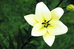 Big yellow Lily. Big yellow Lily on a dark vegetable green background in the summer royalty free stock photos