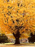 Big yellow Maple tree in Japan Park. Fluffy maple tree with beautiful yellow leaf at the park Stock Image