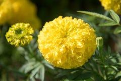 Yellow marigold flowers stock image
