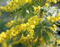 Big yellow mimosa flowers symbol of international women s day. Big yellow mimosa flowers symbol of international women`s day Royalty Free Stock Photography
