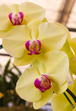 Big Yellow and Pink orchid flowers with green leaf Stock Photos