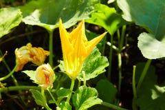 Big yellow pumpkin flower blooming macro close up. stock photos