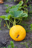 Big yellow pumpkin Royalty Free Stock Photo