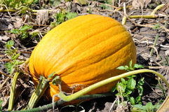 Big yellow pumpkin Royalty Free Stock Image