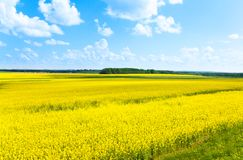 Big yellow rapeseed flowers field Stock Photo