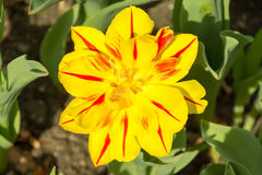 Big yellow and red flower in spring Royalty Free Stock Images