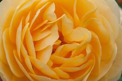 Big yellow rose close up stock photo