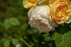 Yellow rose in a summer garden stock images