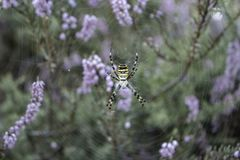 Big yellow spider in web. Spider in purple flowers and grass. Insect concept. Spring nature concept. stock photography