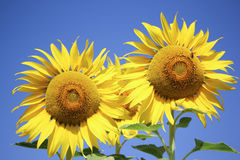 Big Yellow Sun flower Royalty Free Stock Images