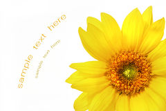 Big yellow sunflower Stock Images