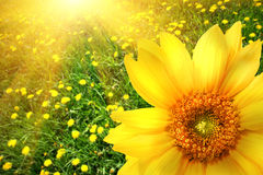 Big yellow sunflower Royalty Free Stock Photo