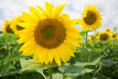 Big yellow sunflower on the background of blurry sunflowers smaller outside the zone of sharpness Royalty Free Stock Images