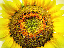 Big yellow sunflower Royalty Free Stock Photos