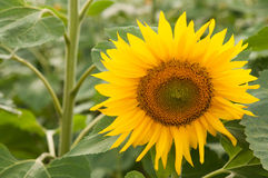 Big yellow sunflower Stock Photo