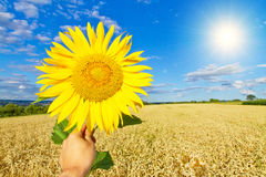 Big yellow sunflower in front of a field Royalty Free Stock Photo