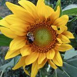 Big yellow sunflower Helianthus annus with bumble bee Bombus spp. royalty free stock photography