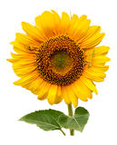 Big sunflower with spider Stock Photos