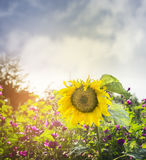 Big yellow sunflower on the natural background of wild flowers and the blue sky,close up Stock Photos