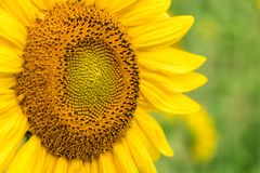 Bright Yellow Sunflower up Close with Green Natural  Background royalty free stock photo