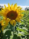 Big yellow sunflower royalty free stock image