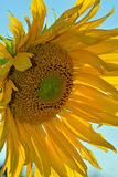 Big yellow sunflower Royalty Free Stock Images