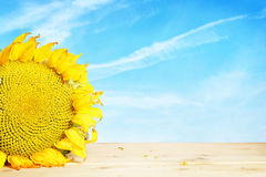 Big yellow sunflower on wooden surface Stock Image